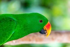 Мужской портрет попугая Eclectus Стоковые Фотографии RF