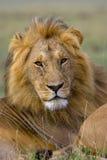 Мужской портрет льва Стоковая Фотография
