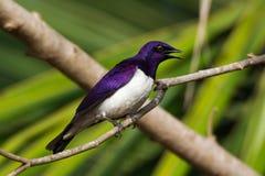 Мужской поддерживаемый Фиолетов Starling Стоковое фото RF