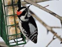 Мужской пуховый Woodpecker вися с и есть от фидера suet Стоковые Фотографии RF