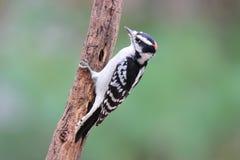 Мужской пуховый Woodpecker в падении Стоковое Изображение