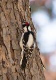 Мужской пуховый Woodpecker от позади Стоковые Фотографии RF