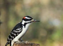Мужской пуховый Woodpecker садить на насест на деревянном пне стоковое изображение