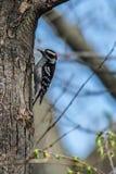 Мужской пуховый Woodpecker льнуть к дереву стоковая фотография
