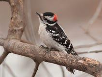 Мужской пуховый Woodpecker Стоковое Изображение