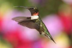 Мужской рубин-throated колибри (colubris Архилоха) Стоковое Изображение