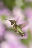 Мужской Рубин-throated колибри & x28; colubris& x29 Архилоха; Стоковое Изображение