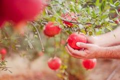 Мужской сбор руки плодоовощ гранатового дерева из своего дерева в саде Свет захода солнца мягкий селективный фокус, космос для те Стоковые Фотографии RF