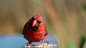 Мужской северный кардинал есть семена от перил видеоматериал