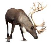Мужской северный олень над белизной с тенью Стоковая Фотография RF