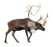 Мужской северный олень над белизной Стоковое фото RF