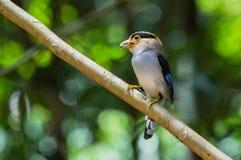 Мужской серебр-breasted Broadbill Стоковые Фото