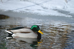 Мужской селезень птицы кряквы дикой утки плавает в воде в зиме, снеге и льде в предпосылке Стоковое фото RF