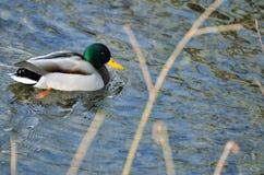 Мужской селезень птицы кряквы дикой утки плавает в воде Стоковое Изображение