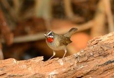 Мужской сибиряк Rubythroat (каллиопа соловья) Стоковая Фотография