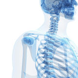 Мужской скелет Стоковое фото RF