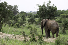 Мужской слон идя через лес Стоковые Фотографии RF