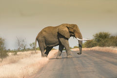 Мужской слон идя через дорогу стоковое изображение rf