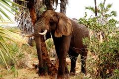 Мужской слон Стоковые Изображения