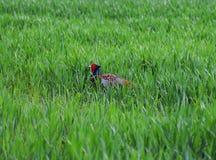 Мужской фазан идет через траву Стоковое фото RF