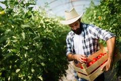 Мужской фермер выбирая свежие томаты от его теплицевого сада Стоковое Фото