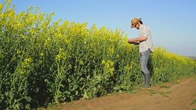 Мужской фермер в поле семени масличной культуры культивируемом рапсом аграрном рассматривая и контролируя рост заводов видеоматериал