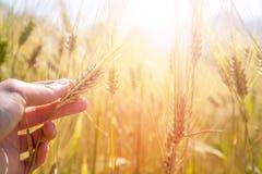 Мужской фермер касается ушам в поле, заходу солнца урожая пшеницы стоковое фото rf