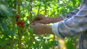 Мужской человек фермера проверяя и проверяя качество заводов органических томатов в поле сада Сбор томата видеоматериал