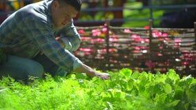 Мужской человек фермера проверяя качество свежего зеленого салата, салата, укропа в саде, жать органическое земледелия естественн видеоматериал