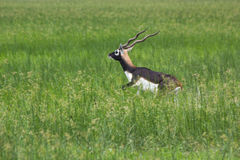 Мужской черный самец оленя пася в лугах Стоковая Фотография RF
