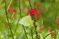 Мужской эмигрант лимона & x28; Форма-alcmeone& x29; бабочка Стоковое фото RF