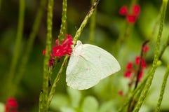 Мужской эмигрант лимона & x28; форма-hilaria& x29; бабочка Стоковое Изображение RF