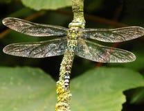 Мужской южный dragonfly лоточницы стоковая фотография rf