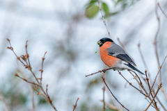 Мужской bullfinch подавая в зиме стоковые фото