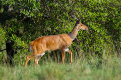 Мужской Bushbuck, Masai Mara, Кения Стоковая Фотография