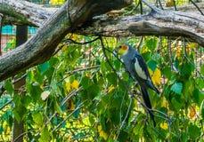 Мужской cockatiel сидя на ветви дерева, небольшой какаду от Австралии, попу стоковые изображения rf