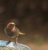 Мужской Cowbird - перед ванной стоковое изображение