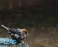 Мужской Cowbird - после ванны стоковые фото