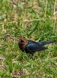 Мужской cowbird стоковое фото rf