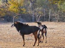 Мужской Hippotragus Нигер антилопы соболя с пышными рожками, Стоковые Изображения