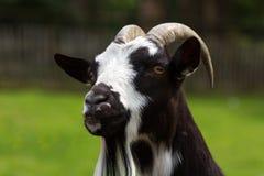 Мужской ibex domestics Стоковые Фотографии RF