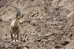 Мужской ibex Nubian Стоковые Изображения RF