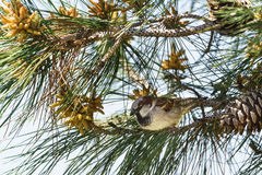 Мужской lat воробья дома Domesticus проезжего сидя на ветви lat сосны Pinus Стоковые Фотографии RF