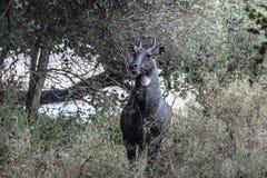 Мужской Nilgai от леса Ranthambore стоковая фотография rf