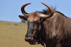 Мужчина антилопы гну стоковое изображение rf