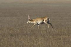 Мужчина антилопы Saiga бежать через степь Стоковое Фото