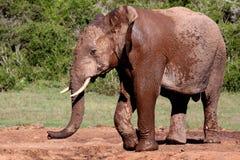 мужчина африканского слона Стоковая Фотография