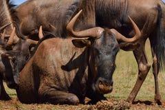 Мужчина альфы 2 антилопы гну Стоковая Фотография RF