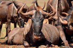 Мужчина альфы антилопы гну стоковое фото rf