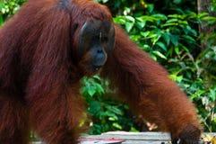 Мужчина альфы Orang Utan стоя в Борнео Индонезии Стоковые Фотографии RF